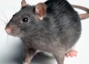 rat-image